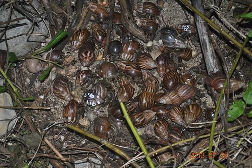 大型的寄居蟹幾乎都是背著非洲大蝸牛的殼。
