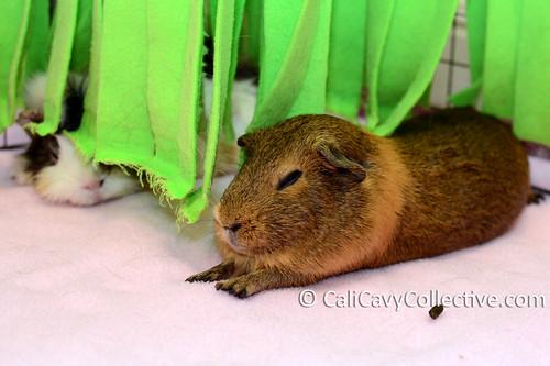 Guinea pig Belka naps under fleece fringe