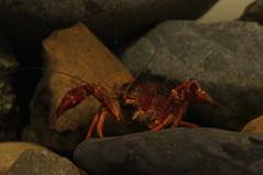 crab, animal, crustacean, crayfish, seafood, invertebrate, macro photography, fauna,