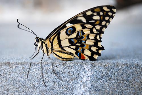 india macro nature butterfly papillon 1855 falter mariposa farfalla limebutterfly papiliodemoleus d60 citrusbutterfly lemonbutterfly