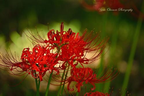 Cluster-amaryllis / 曼珠沙華