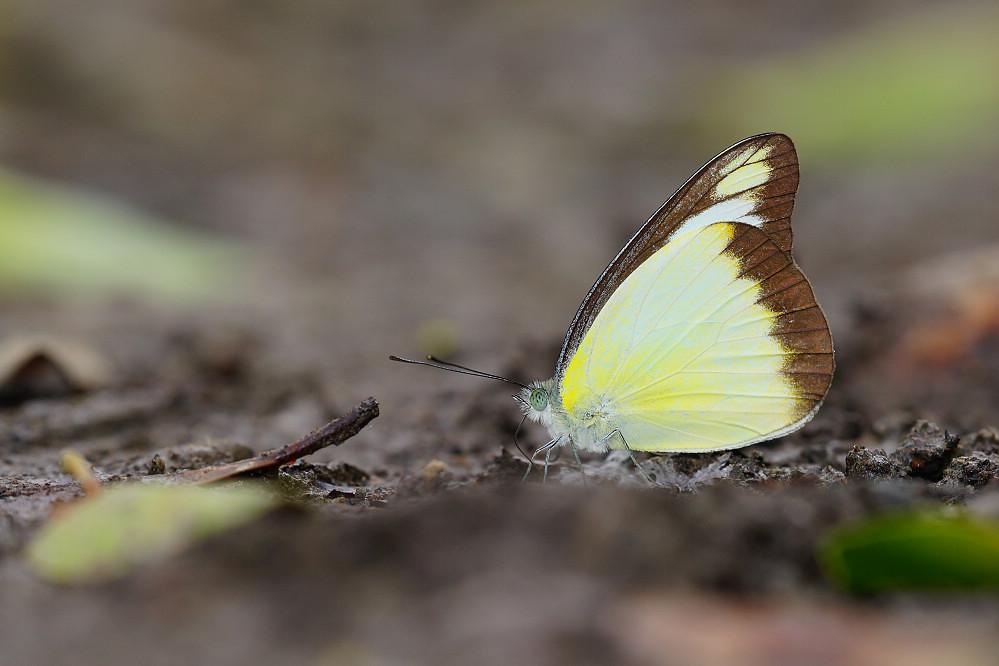 尖粉蝶屬異色尖粉蝶-1