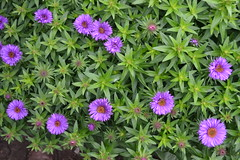 SYMPHYOTRICHUM novae-angliae 'Purple Dome'