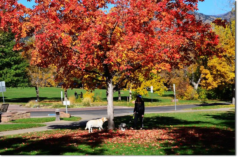 Sugar maple in Fall, Chautauqua, Boulder 7