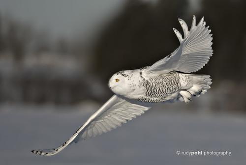 Snowy Owl in flight, Ottawa, Canada