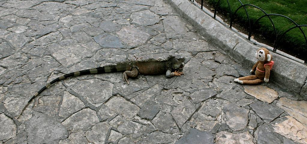 Iguana meets Bimbino