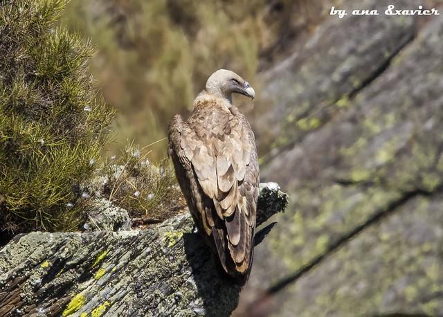 Grifo, Griffon Vulture (Gyps fulvus) - em Liberdade [WildLife]