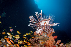 Lionfish hunting on Pescador