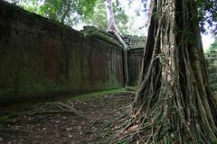 Ta Prohm - Green Wall With Tree