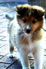 puppy(0.0), german spitz klein(0.0), german spitz(0.0), german spitz mittel(0.0), rough collie(0.0), collie(0.0), norwegian lundehund(0.0), icelandic sheepdog(0.0), dog breed(1.0), animal(1.0), dog(1.0), pet(1.0), miniature australian shepherd(1.0), carnivoran(1.0), shetland sheepdog(1.0),