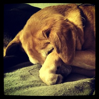 This puppy's calling it a night. We woke up in time to see Jr win! #dogstagram #sleepy #houndmix #donotdisturb #instadog