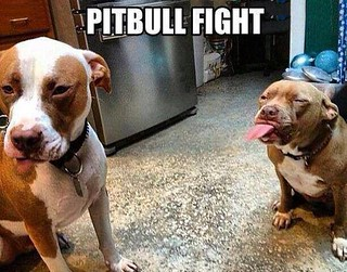 Pit-Bull Fight....