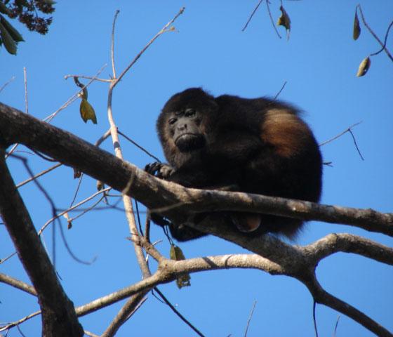 A-contemptuous-howler-monkey