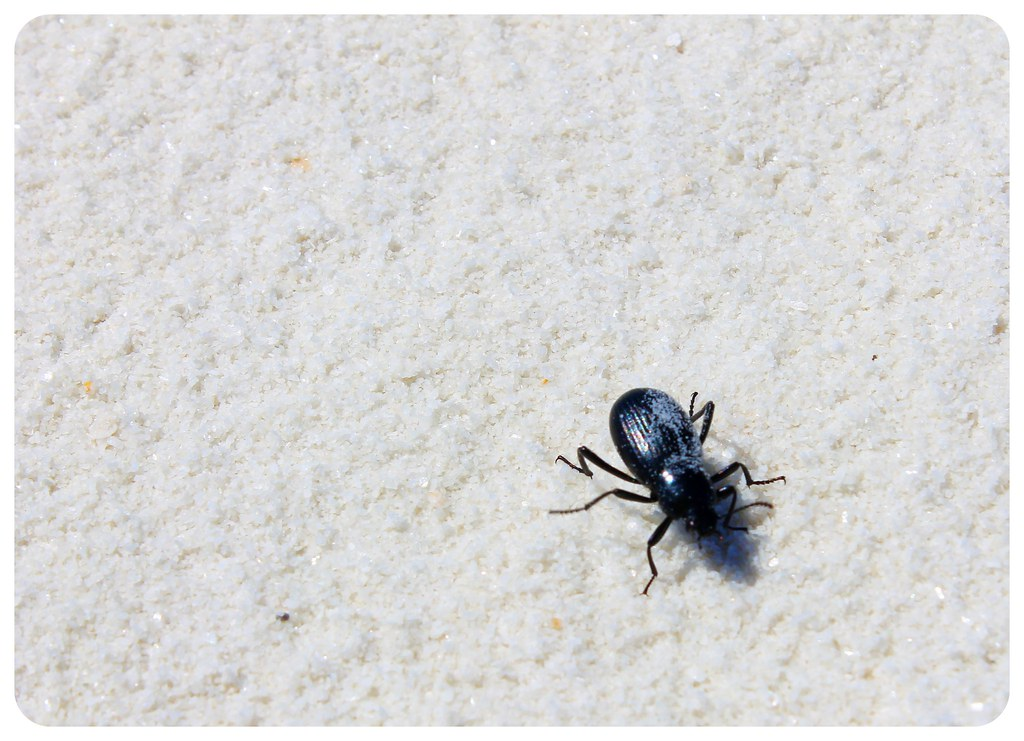 White Sands New Mexico beetle