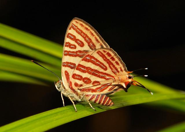Long-Banded Silverline (Spindasis lohita, Lycaenidae)