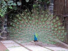 IMG_5909: Peacock