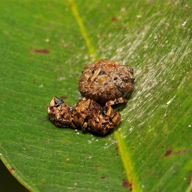 Bird dung crab spider - photo#18