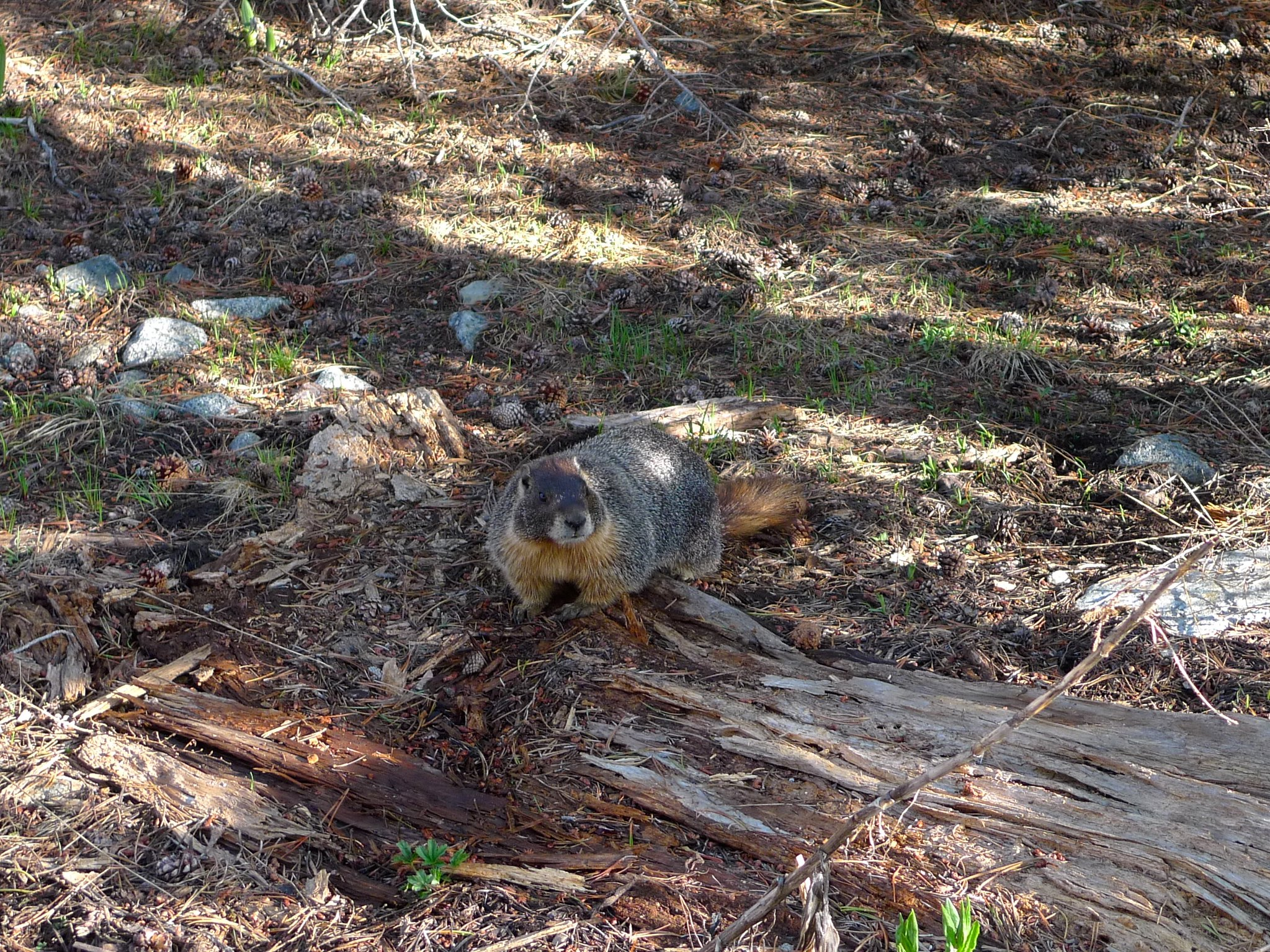 This marmot chewed off my sternum strap and ran away with it!