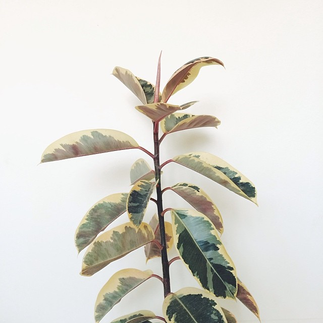 variegated rubber tree plantleni's cookies