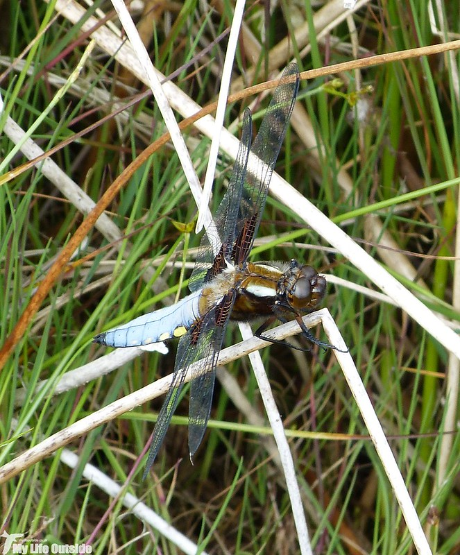 P1130795 - Broad-bodied Chaser, Craig Cerrig-Gleisiad