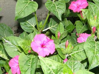 Mirabilis-Jalapa-roos