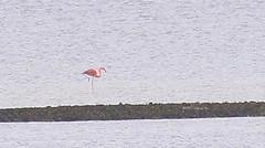 animal(1.0), flamingo(1.0), bird(1.0), seabird(1.0),