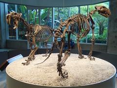 Smilodon californicus (Saber-toothed Cat, Saber-toothed Tiger), Panthera atrox (Naeglete's Giantt Jaguar, American Lion) - Olympus Stylus Tough TG-4