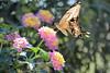 Giant Swallowtail on Lantana