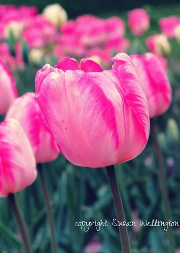 Pink and White tulips at Bergianska Trädgården by sawelli