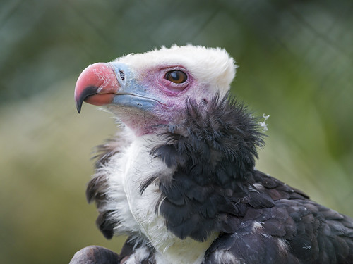 Profile portrait of a vulture by Tambako the Jaguar