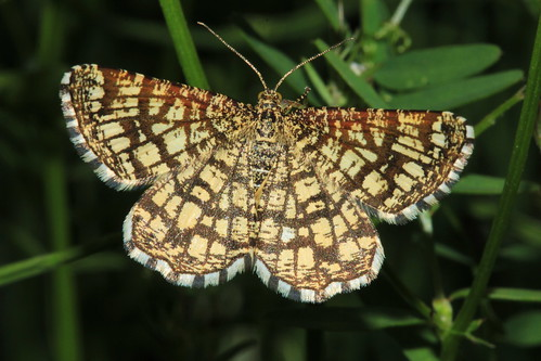 Latticed Heath 19366
