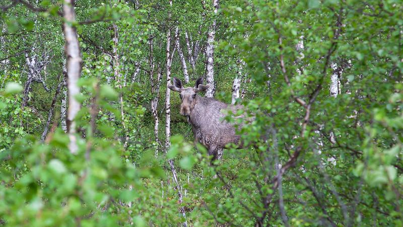 Ein junger Elch