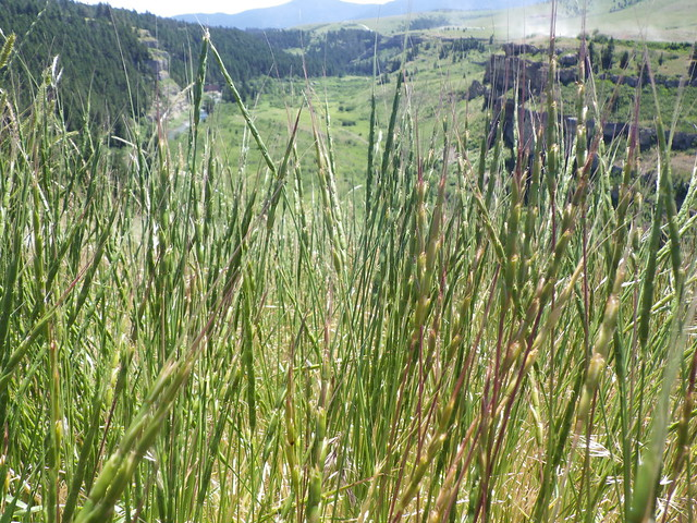 Header of Aegilops cylindrica
