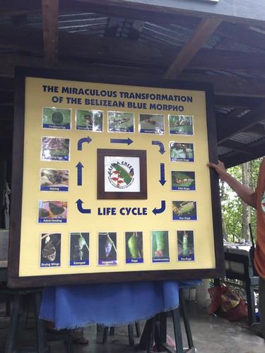Blue Morpho Life Cycle