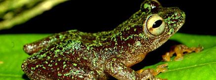 歐曼紐杜蘆葦蛙。圖片來自CI,Jos Keilgast攝。