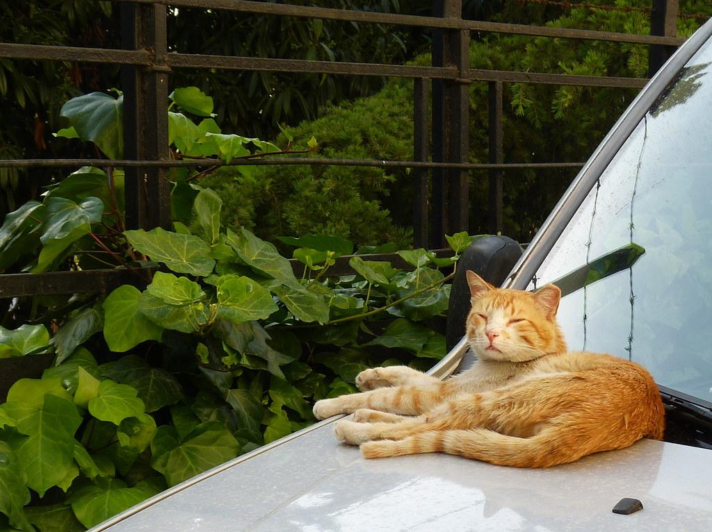 Istanbul cat, Üsküdar