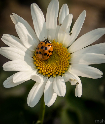 flower nature garden insect daisy ladybug