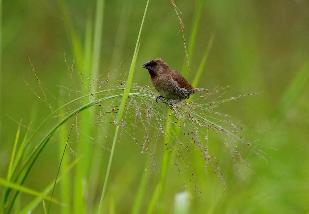 食穗  -- 斑文鳥