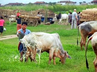 Kaungdain Market livestock washing 5