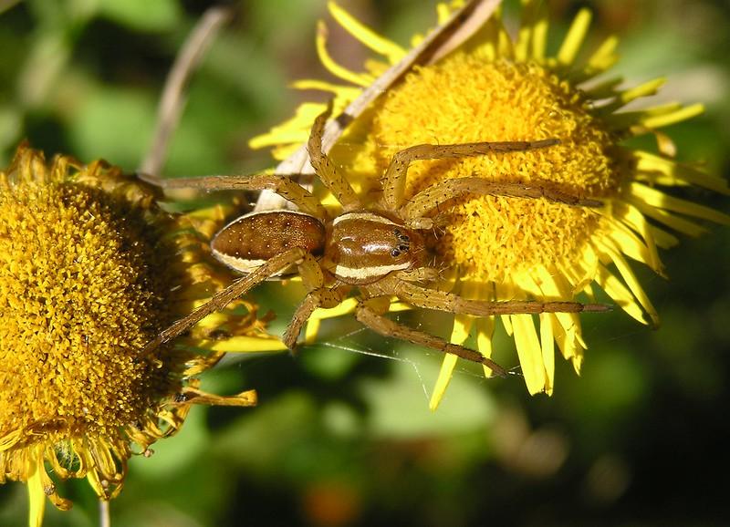 [ Dolomedes fimbriatus ] Araignée à déterminer 10849563485_61b386b1ed_c