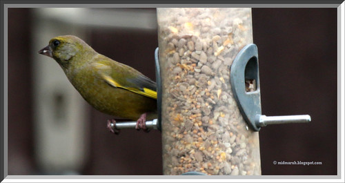 Greenfinch IMG_0425