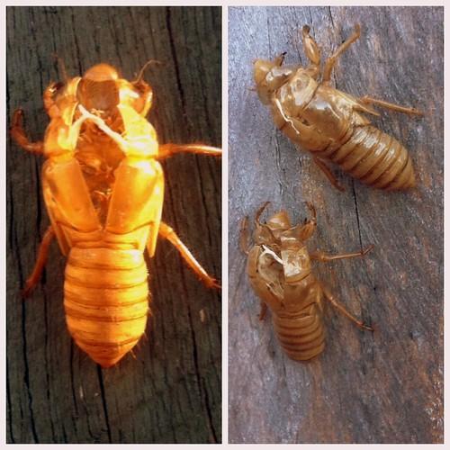 January 30: Cicada shells