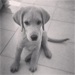 Domingueando :) #instalove #Instadog #Labrador ##Puppy #KeepCalm
