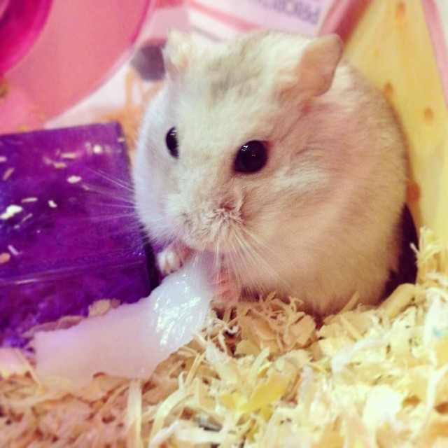 Godiva having a slice of coconut. All while imagining holidaying in Hawaii. #hamster #wintergold #dwarfhamster #hammie #cutenessoverload