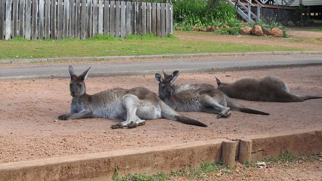 Day 26: Chilled out Roos
