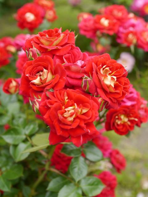 Photo:Rose, Trinity, バラ, トリニティ, By T.Kiya