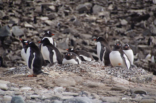 195 Elephant Island - Point Lookout Kolonie ezelspinguins