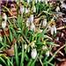 Growing free @ #LaGuardia Corner #Gardens #NYC #Spring Forward! http://en.m.wikipedia.org/wiki/Galanthus