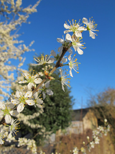 Blackthorn (sloe) blossom