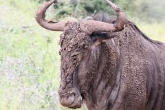 Best of Kruger 2014 muddy wildebeast